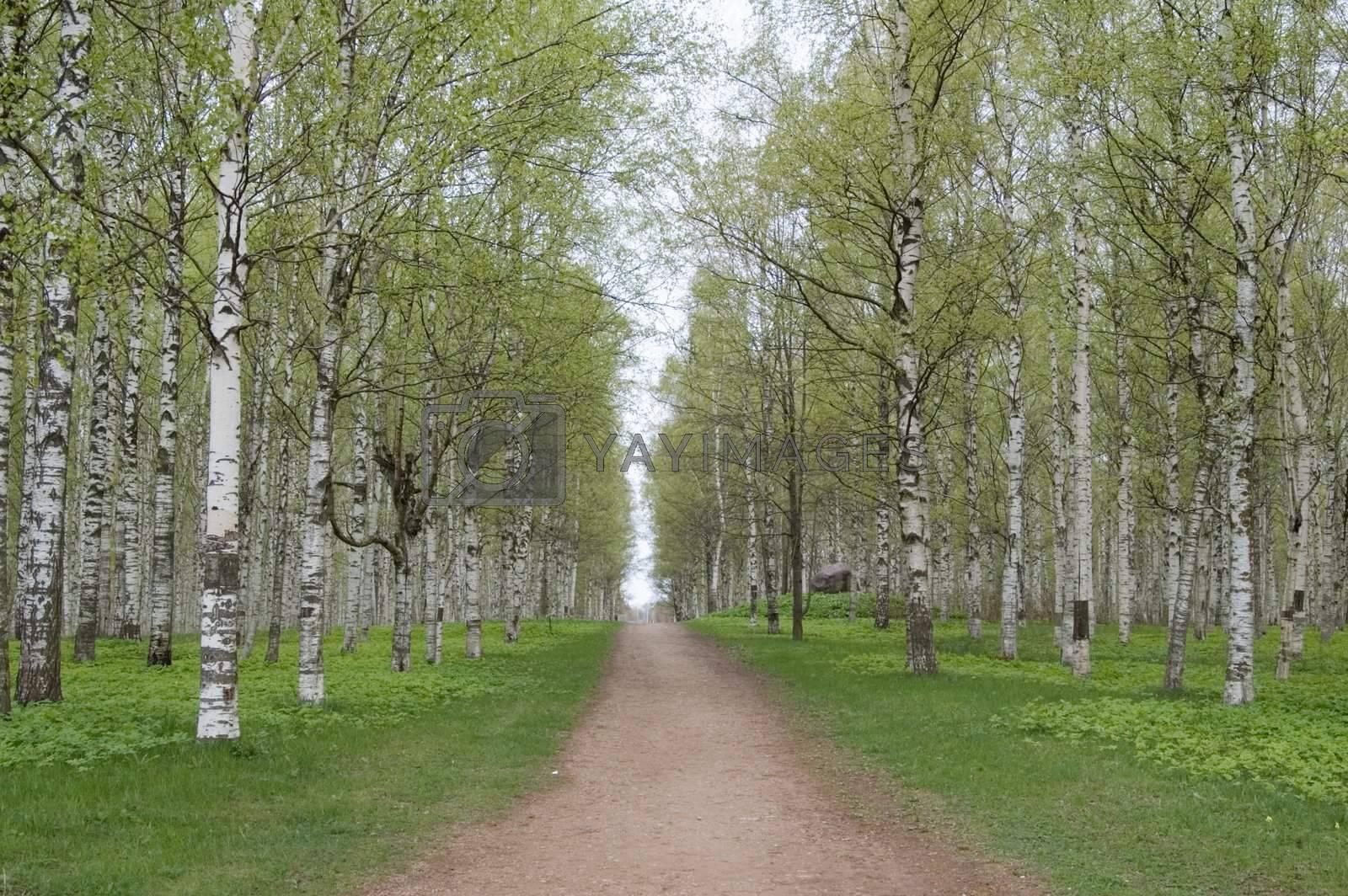 Birch wood, avenue