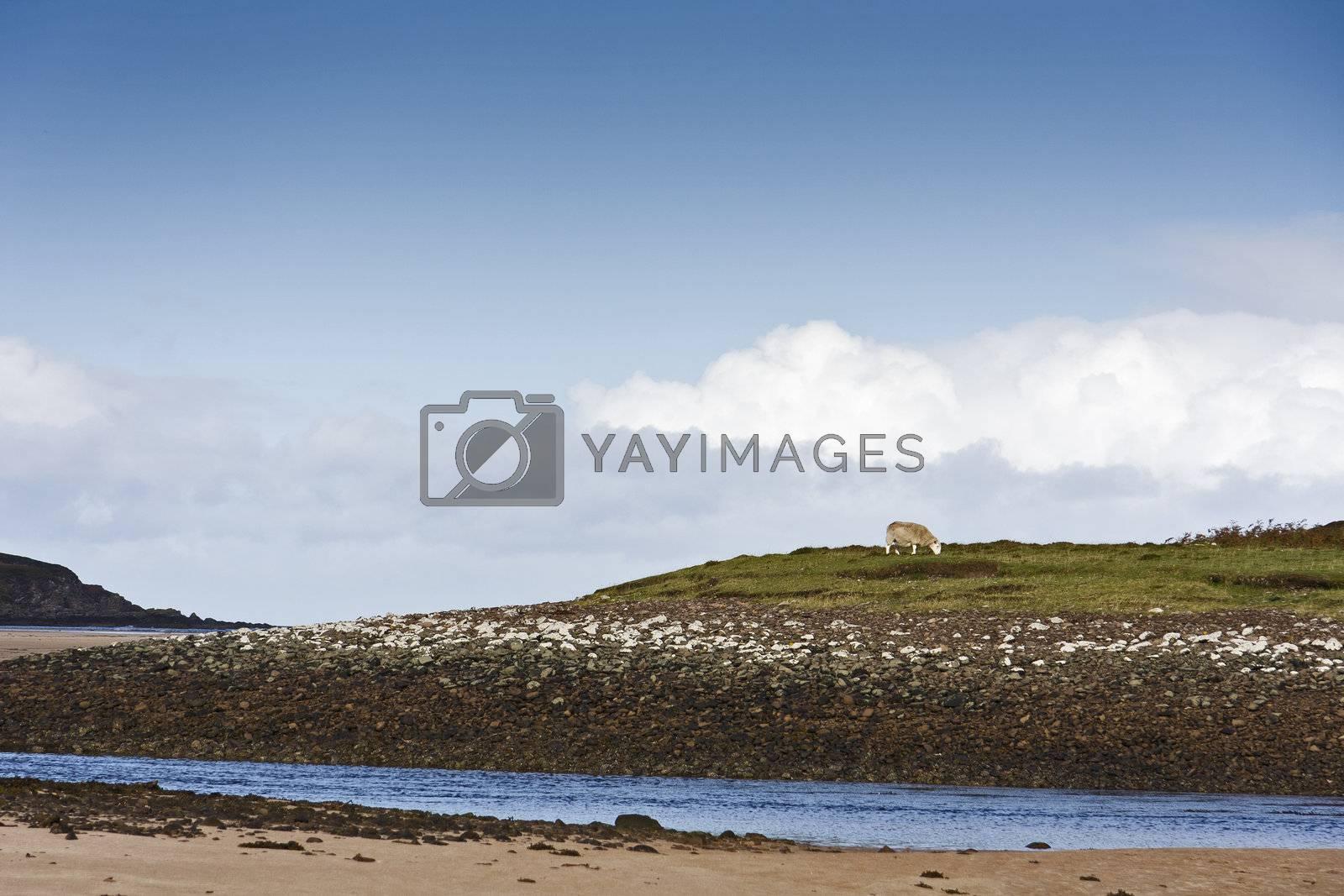 single sheep in blue sky at coastline