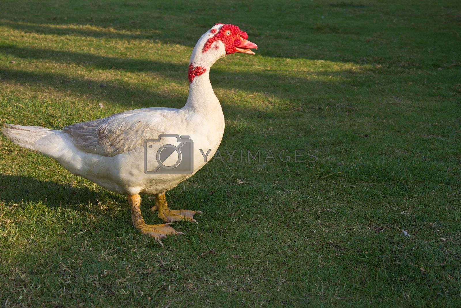 Muscovy duck in the farm