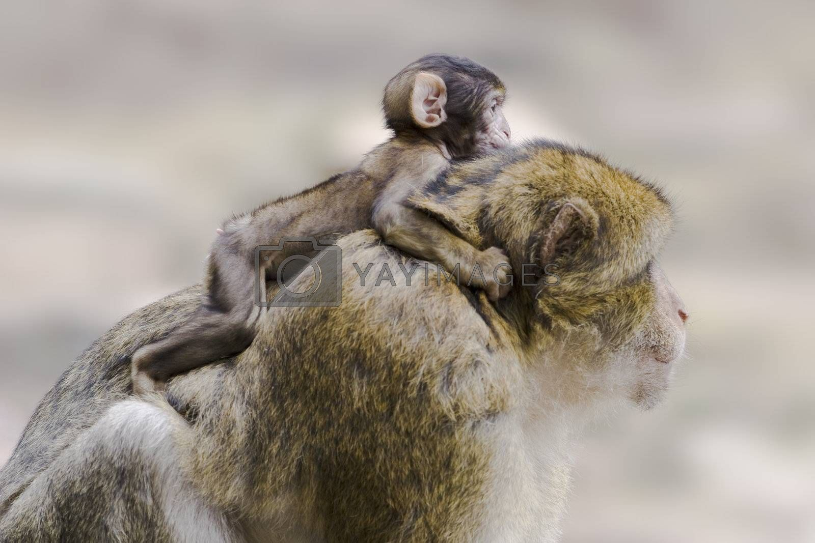Barbary ape with young one on its back