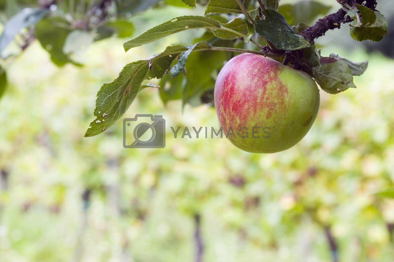 Red and green apple hanging from a tree branch in an apple orchard