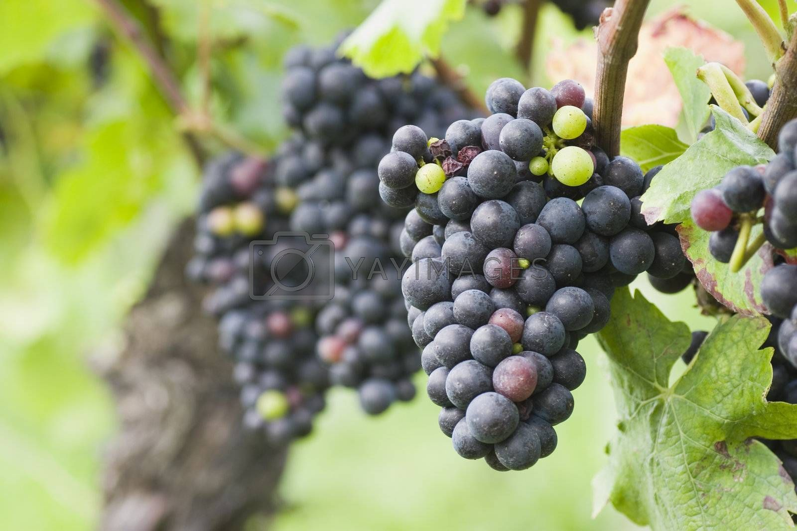 Purple grapes in a french vineyard