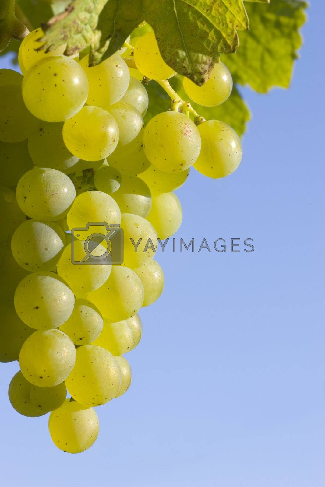 A bunch of ripe grapes against blue sky