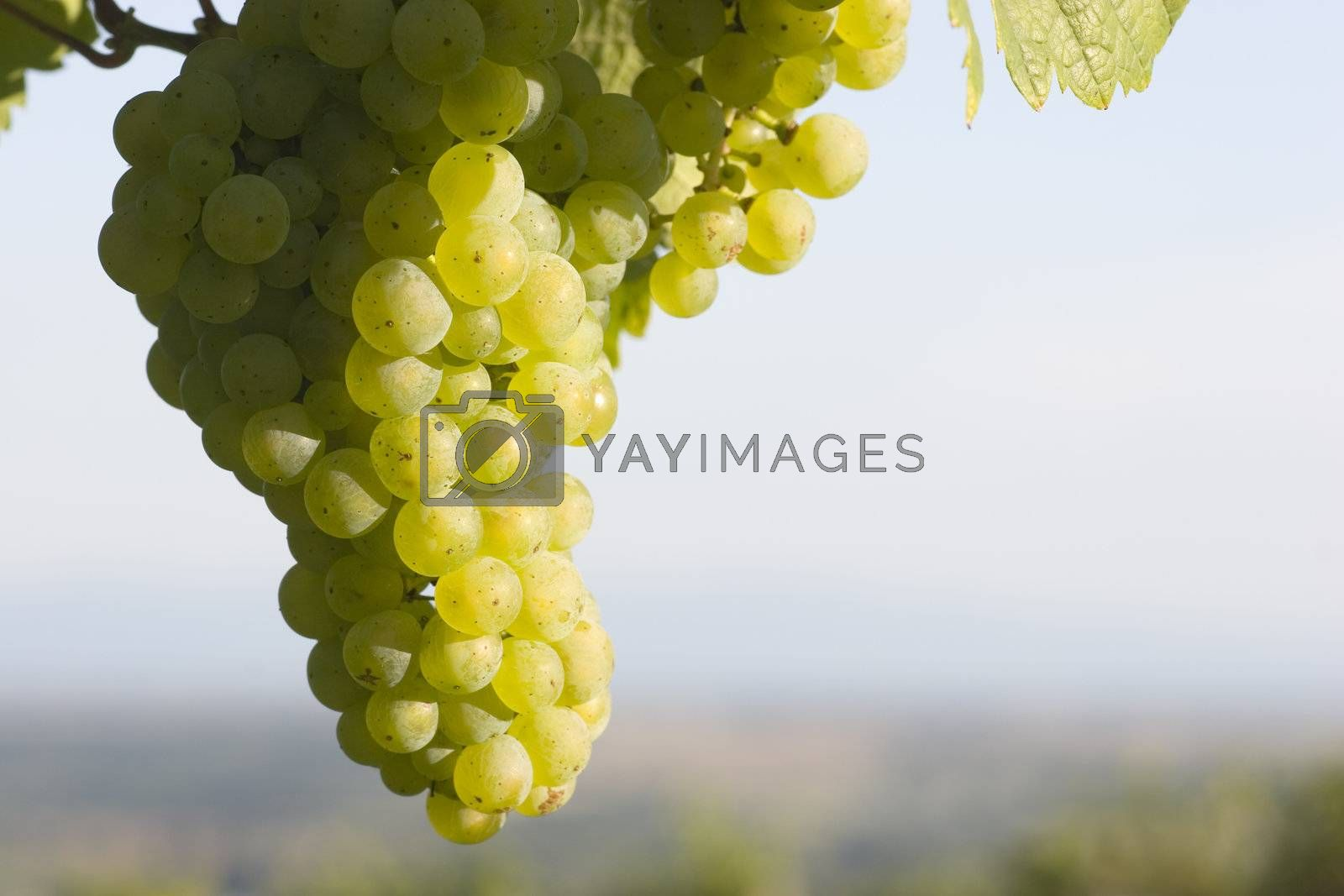 Sunny cluster of green grapes on vine by ArtmannWitte