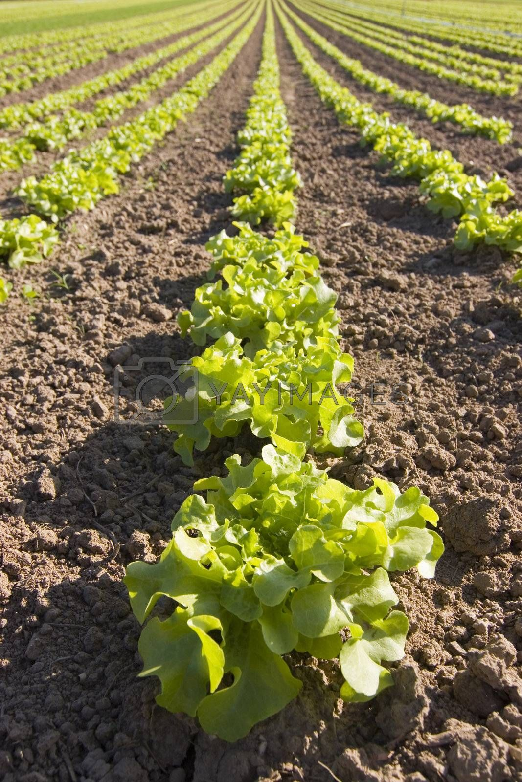 Rows of fresh lettuce in a field