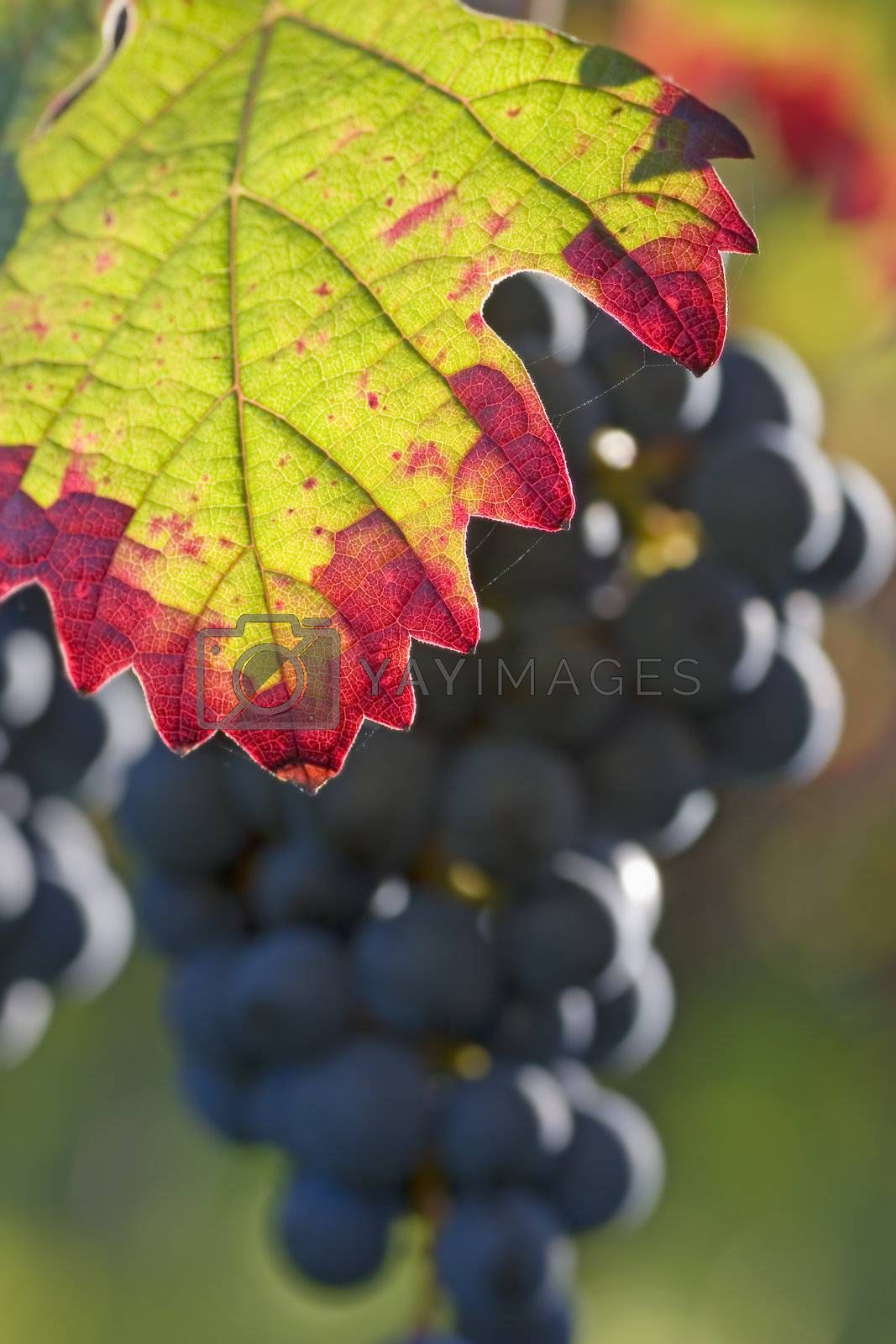 Fall impression in a vineyard by ArtmannWitte