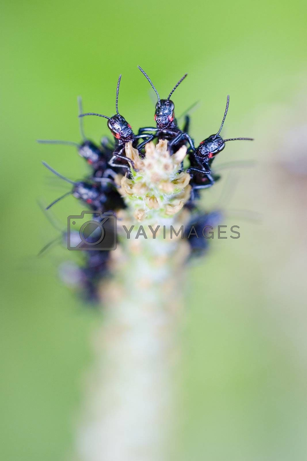 Formation of black crickets on a plant in southern brazil
