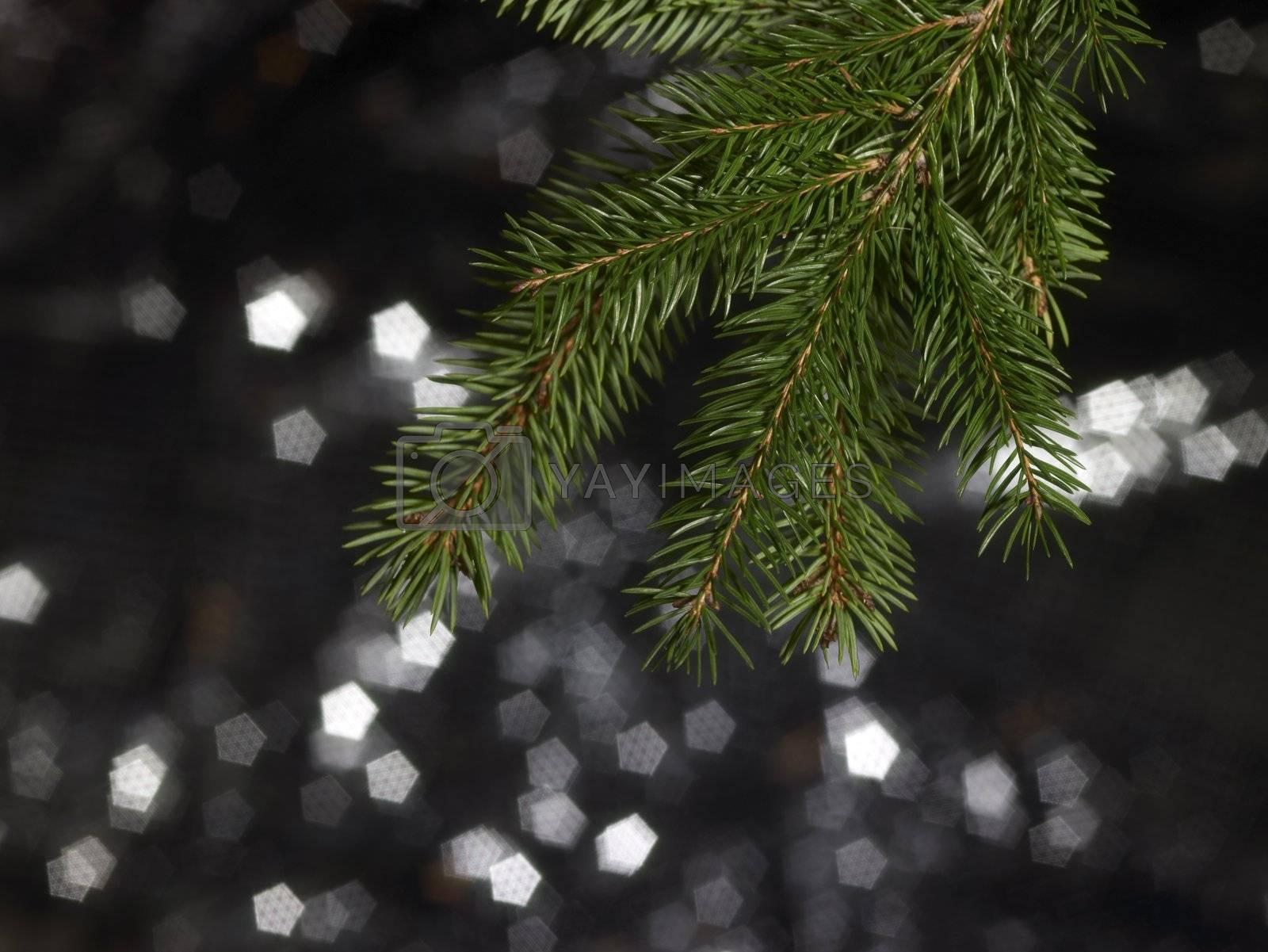 detail of a green fir branch in dark blurry back