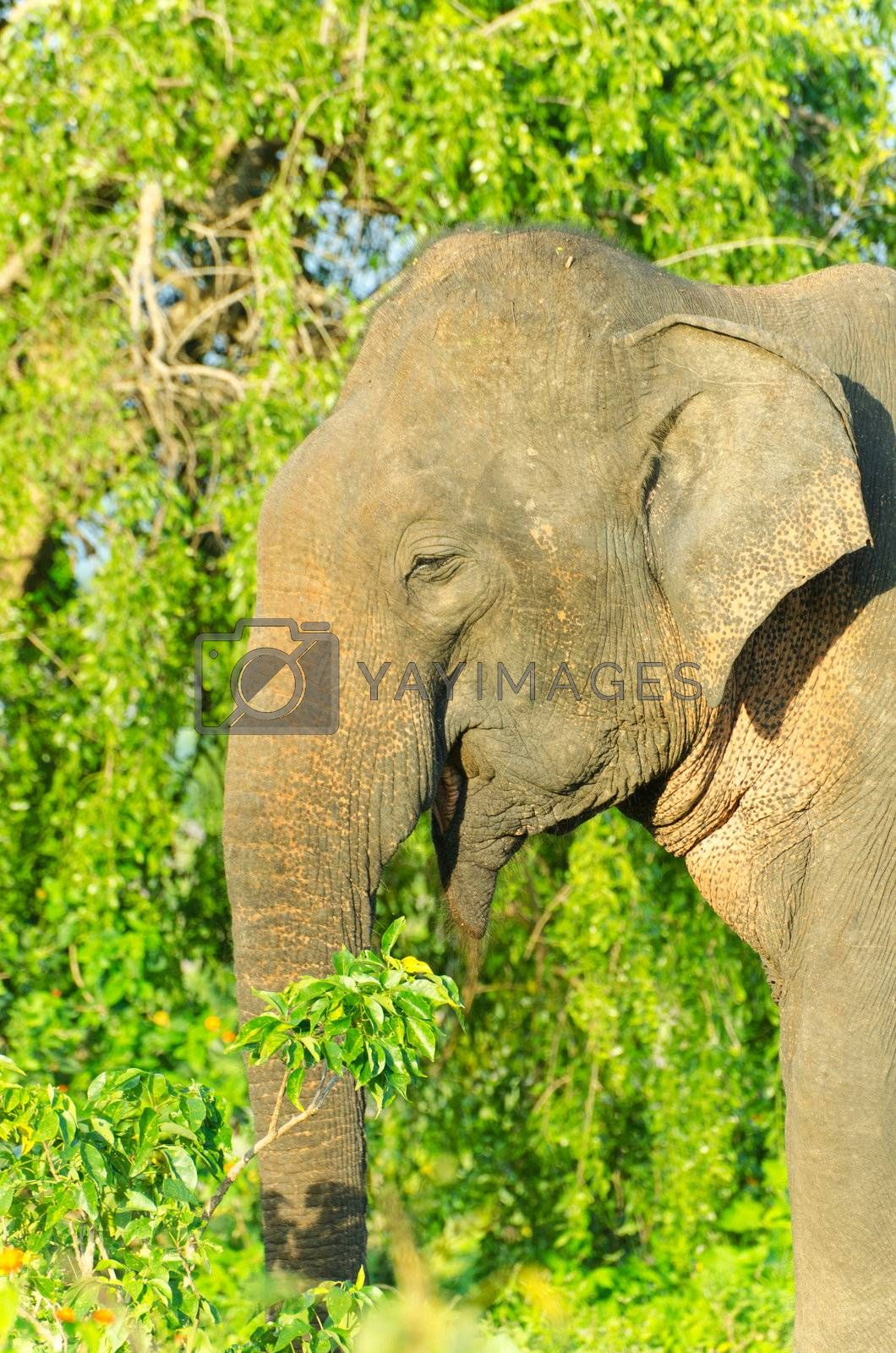 adult male Indian elephant in the wild. The picture was taken in the Yala National Park ( Sri Lanka ).