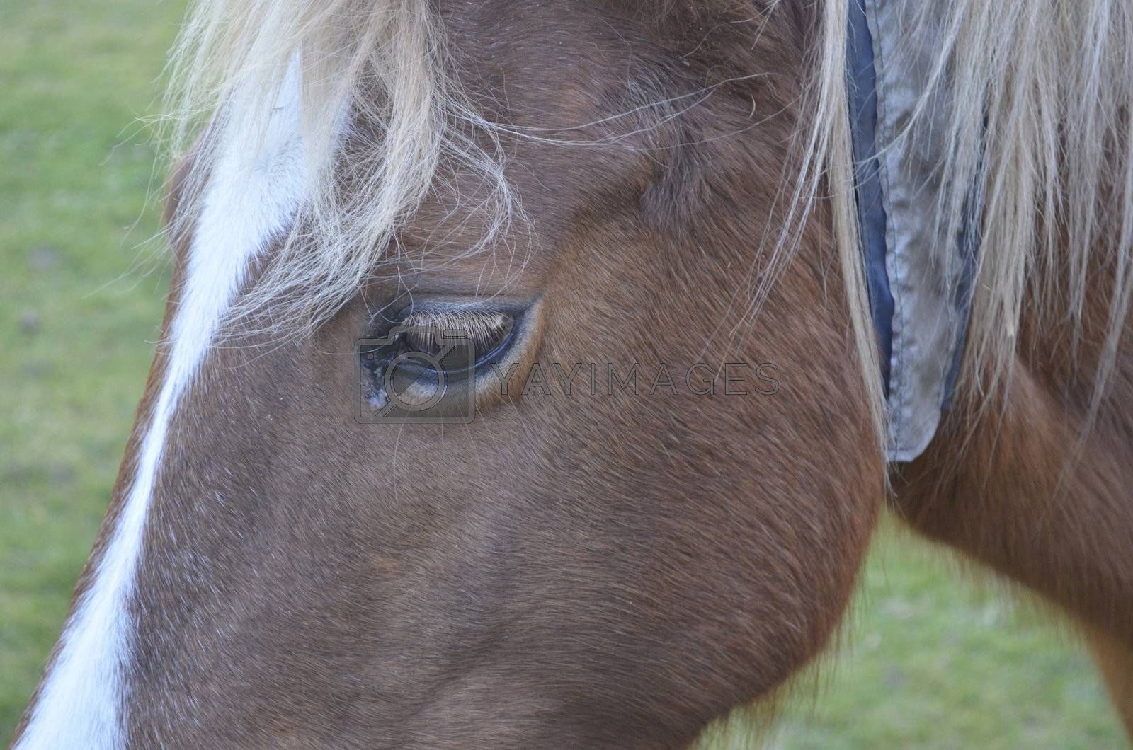 Close up of brown horse face with sad eye