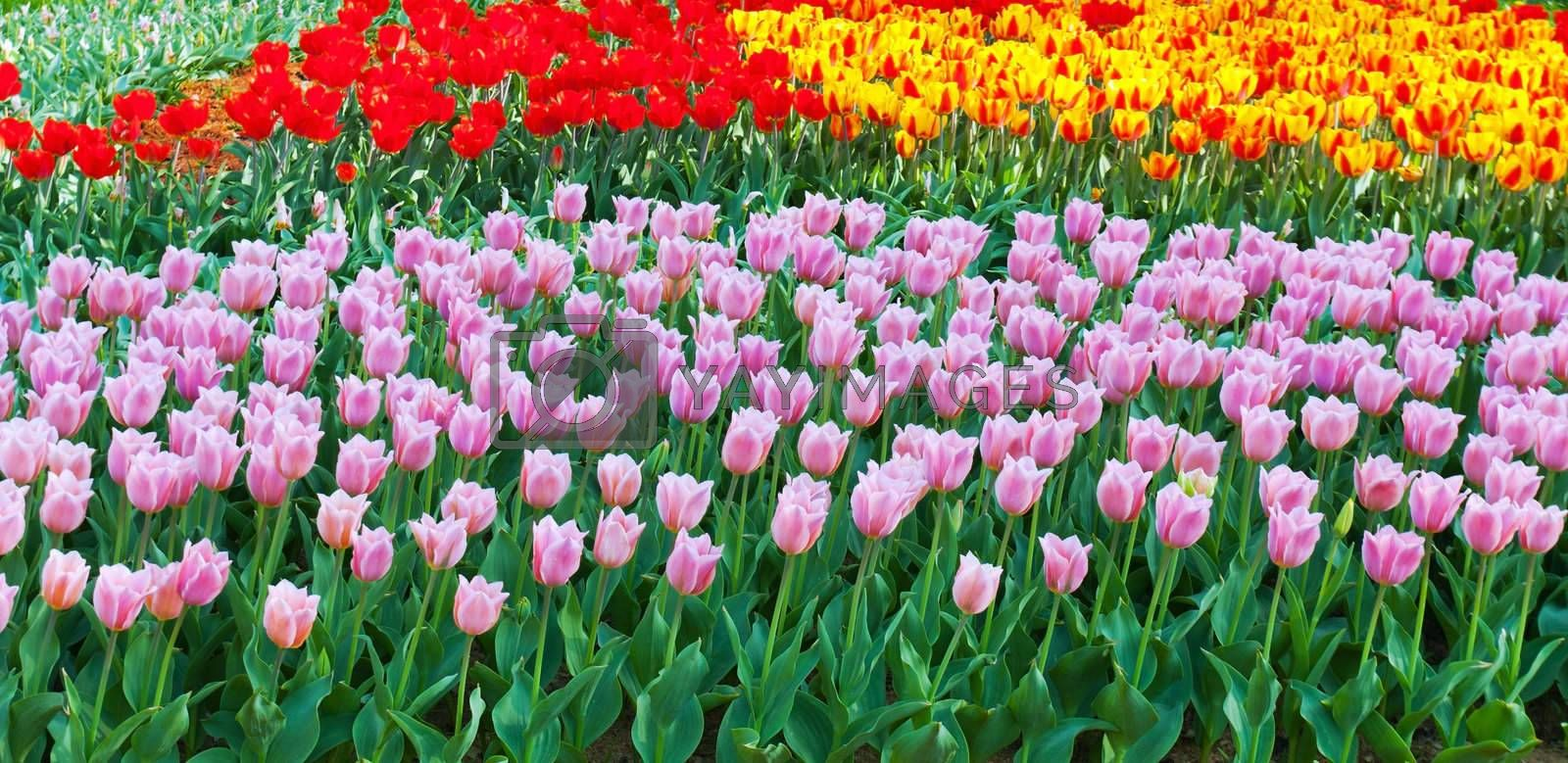 tulips purple, yellow and red spring bed