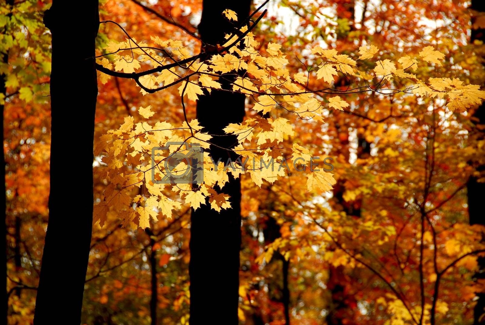 Maple branch with sunlit yellow leaves in autumn forest