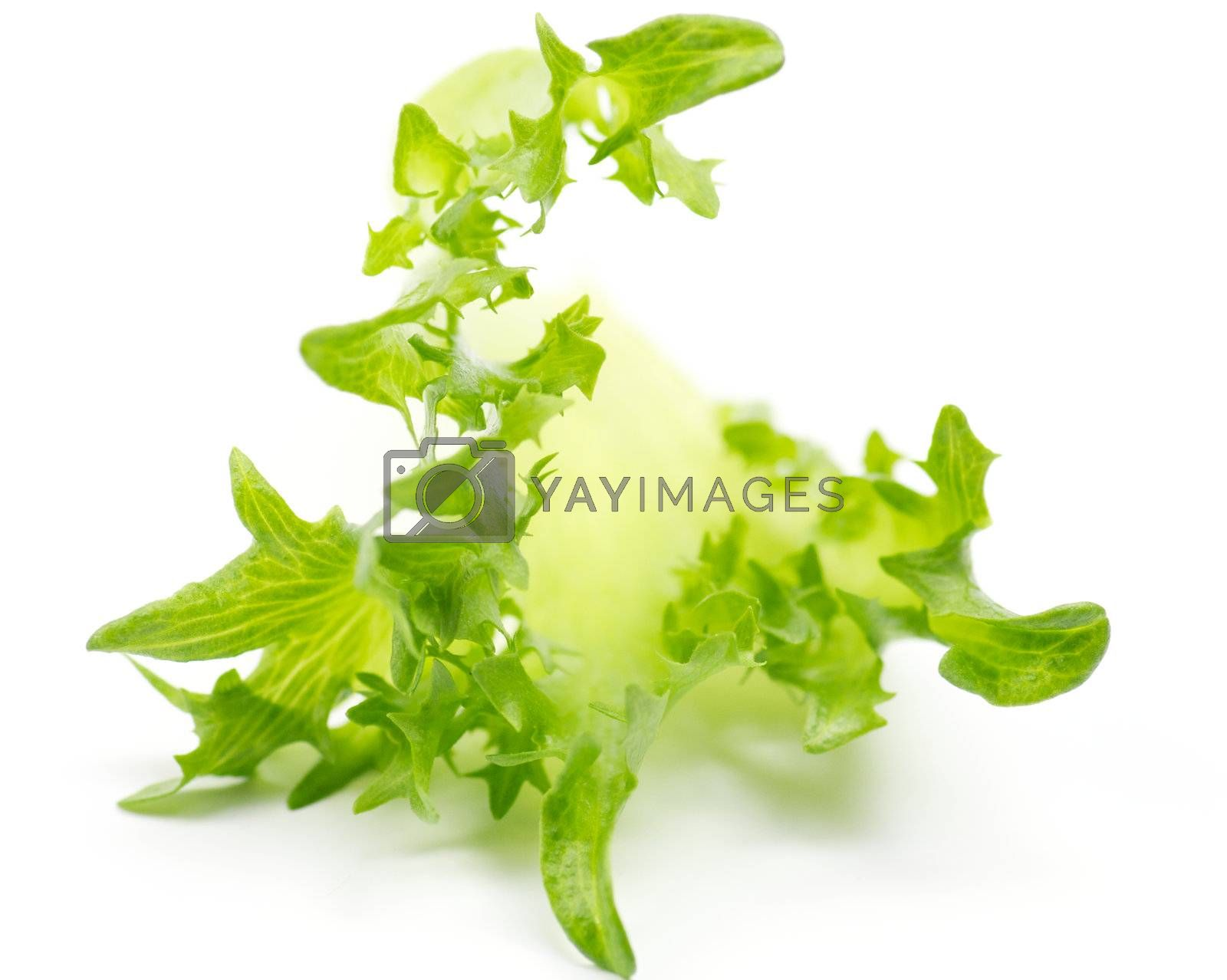 Fresh green salad sheet on white background