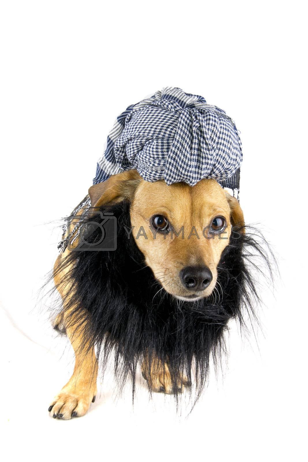 arab dog