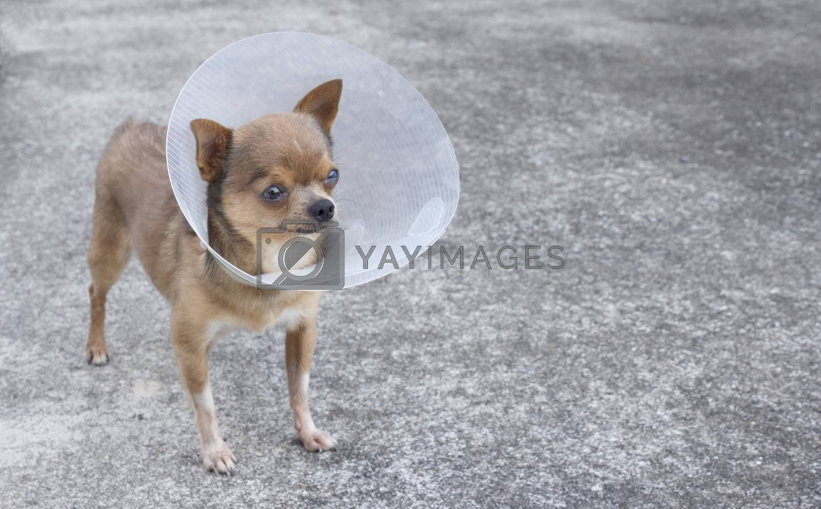 Chihuahua wears a neck cone collar to keep it from disturbing eye of treatment