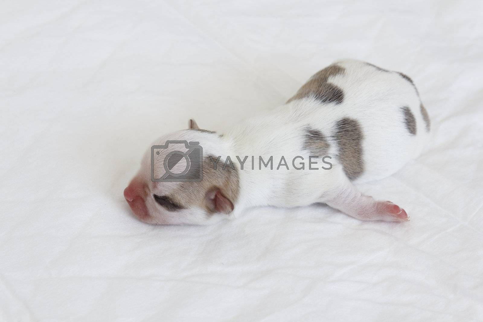 Young chihuahua newborn puppy sleeping on white liner