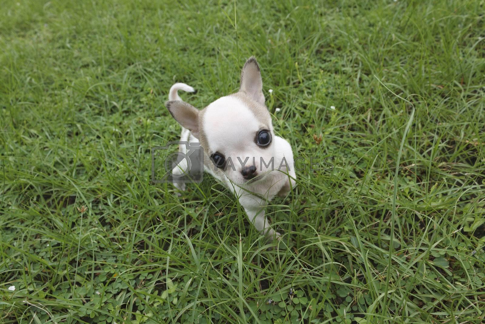 Puppy chihuahua walking at the grass