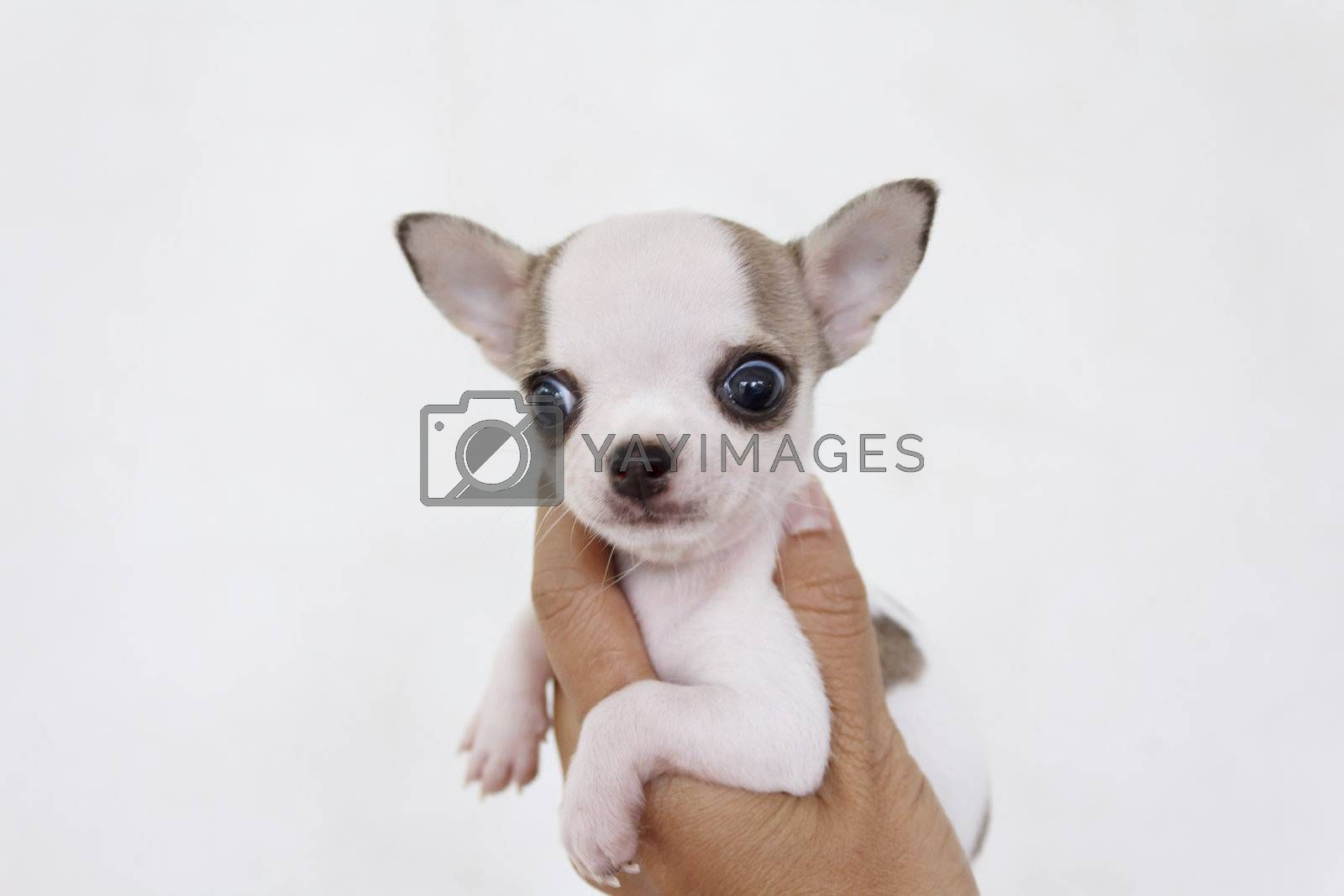 Chihuahua puppy six weeks old holding in human hand
