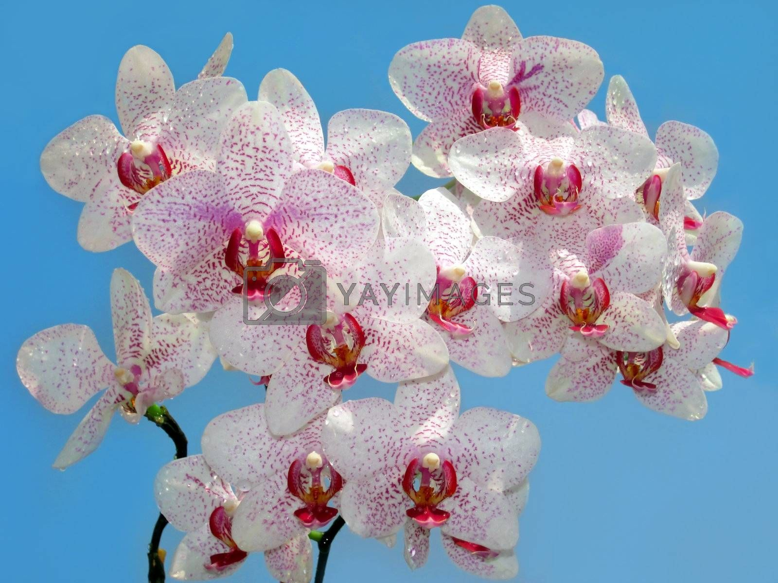 branch of purple and white orchid against the blue sky