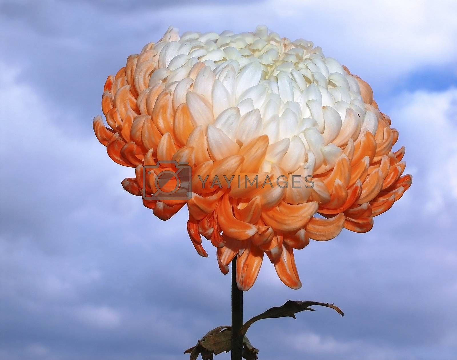 fresh-cut pink and white chrysanthemum on blue sky background