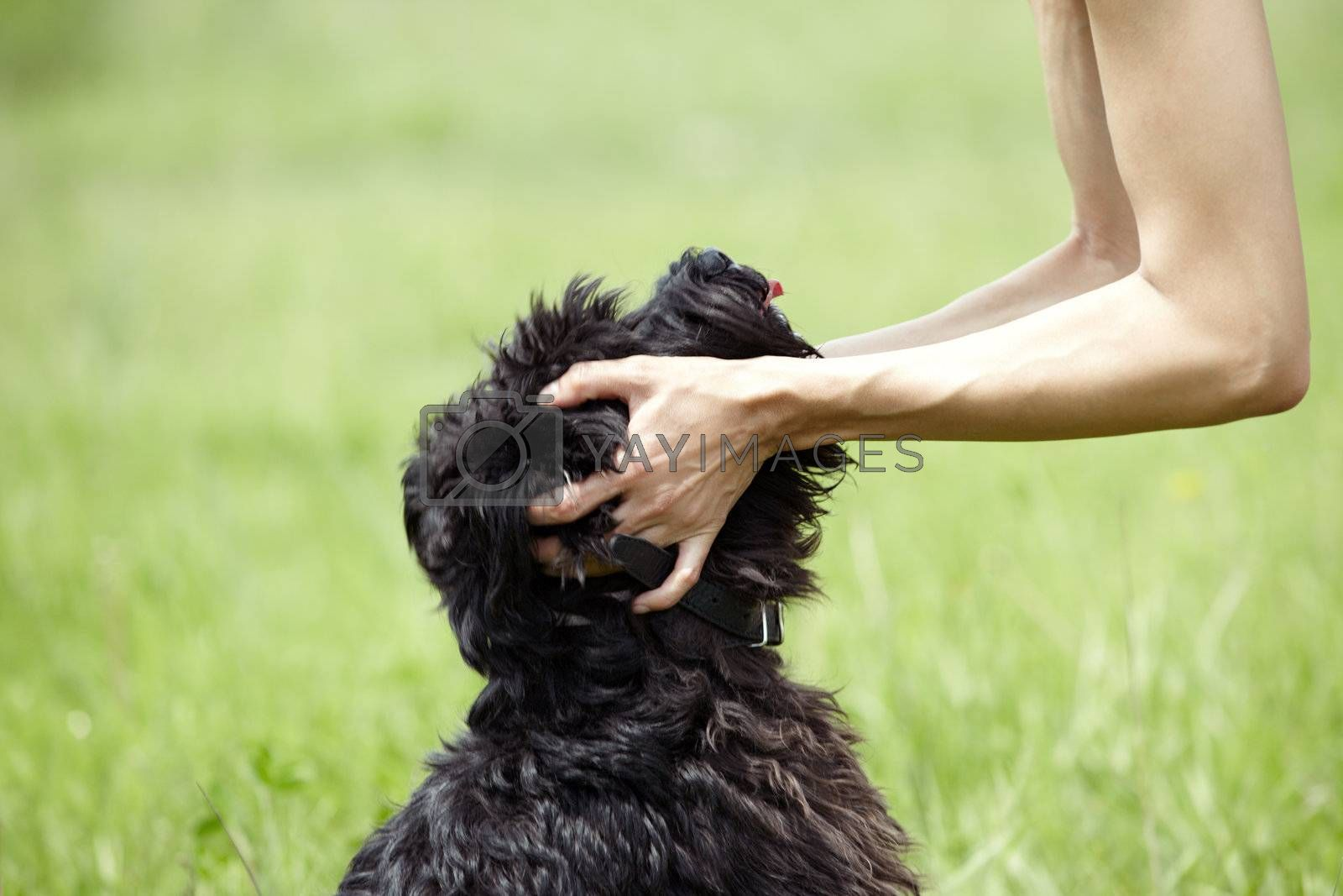 hUman hands holding the muzzle of black miniature schnauzer. Natural light and colors