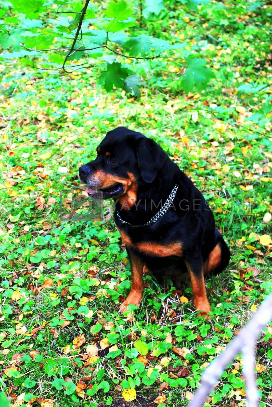 The dog sitting in grass looking somwhere.  It is rottweiler