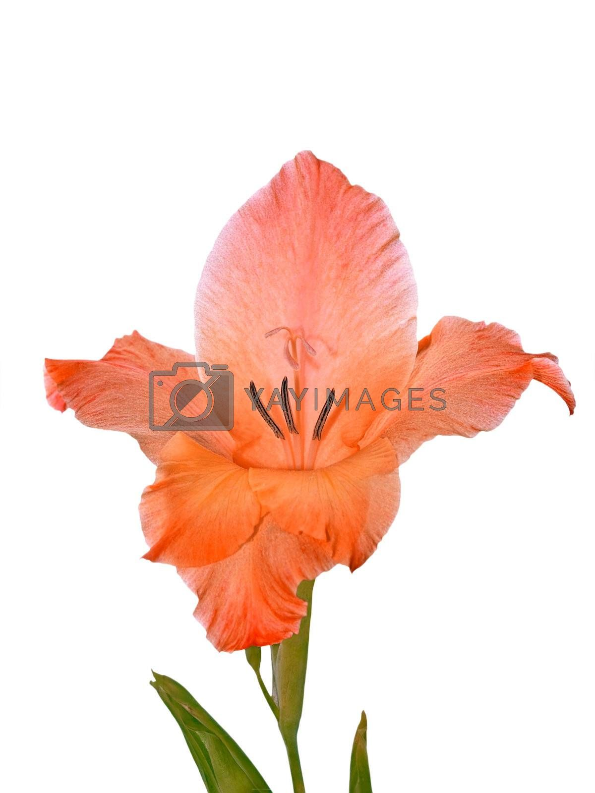 Gladiolus flower close-up isolated on a white background