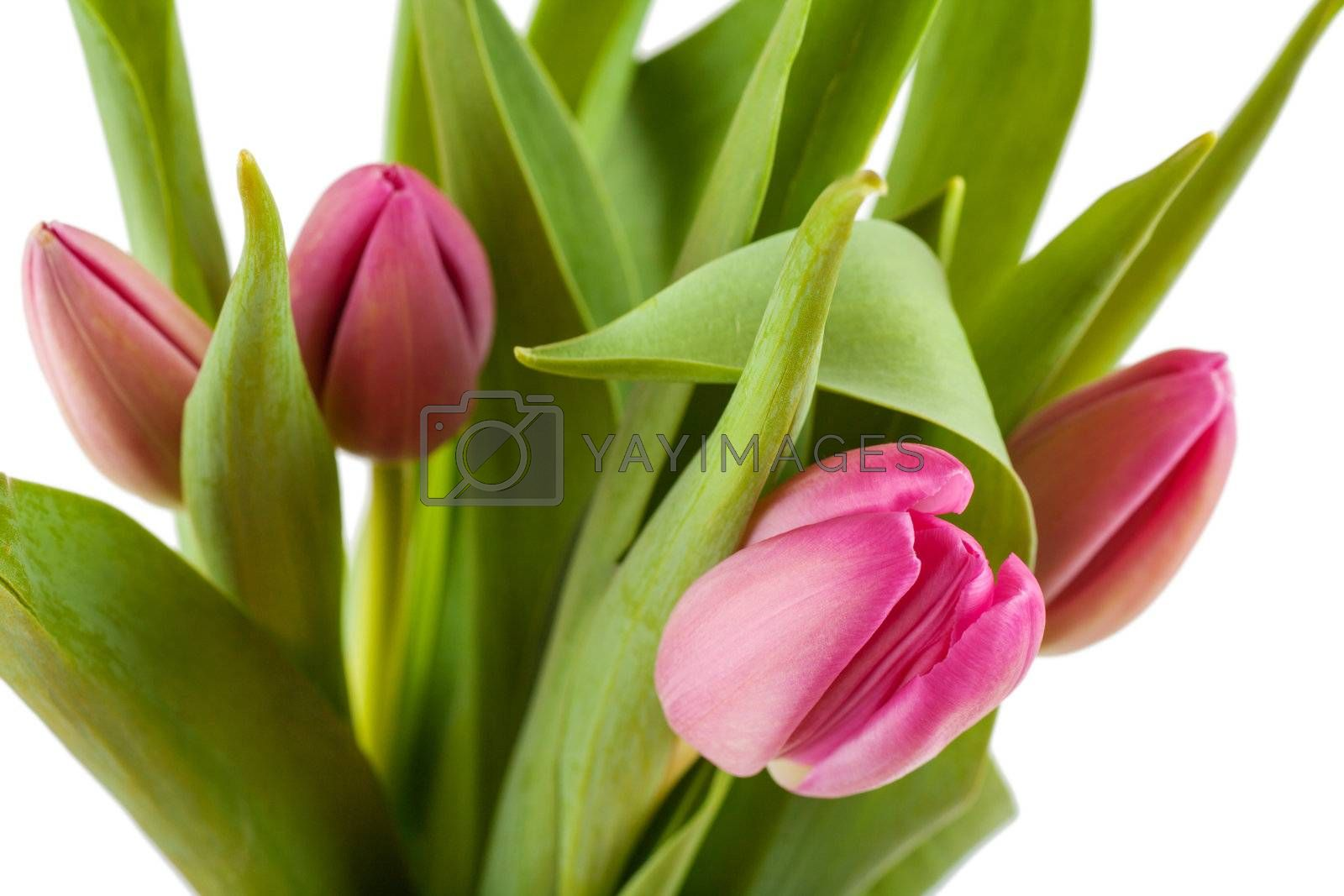 Royalty free image of Tulips by AGorohov