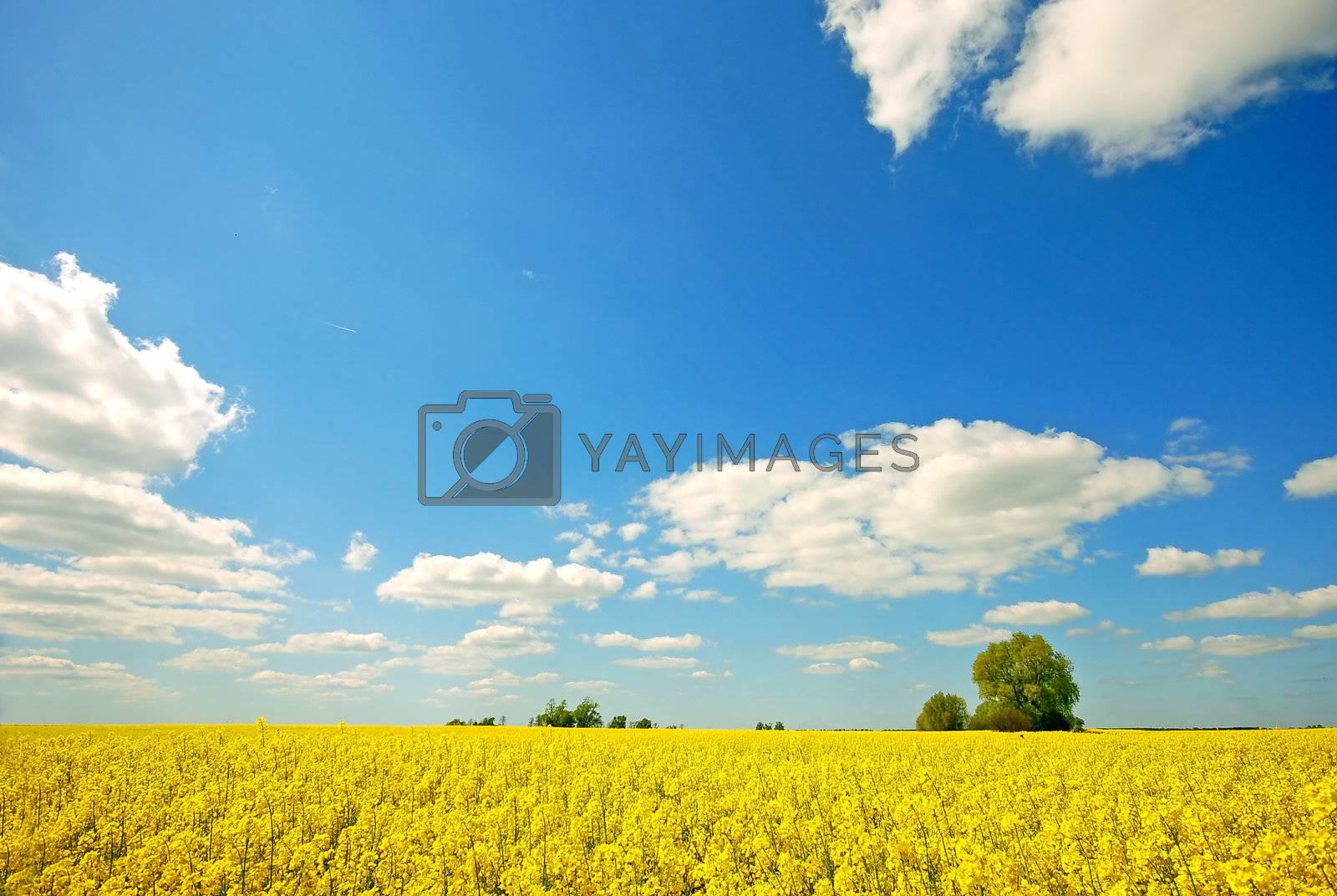 Spring sunny landscape. Rape field