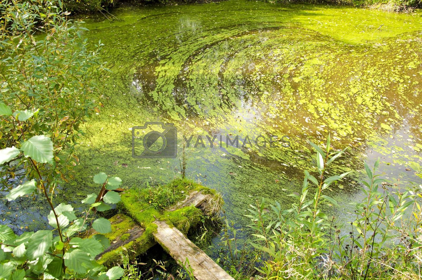 Agal bloom. Small pond in a forest green water and broken bridge
