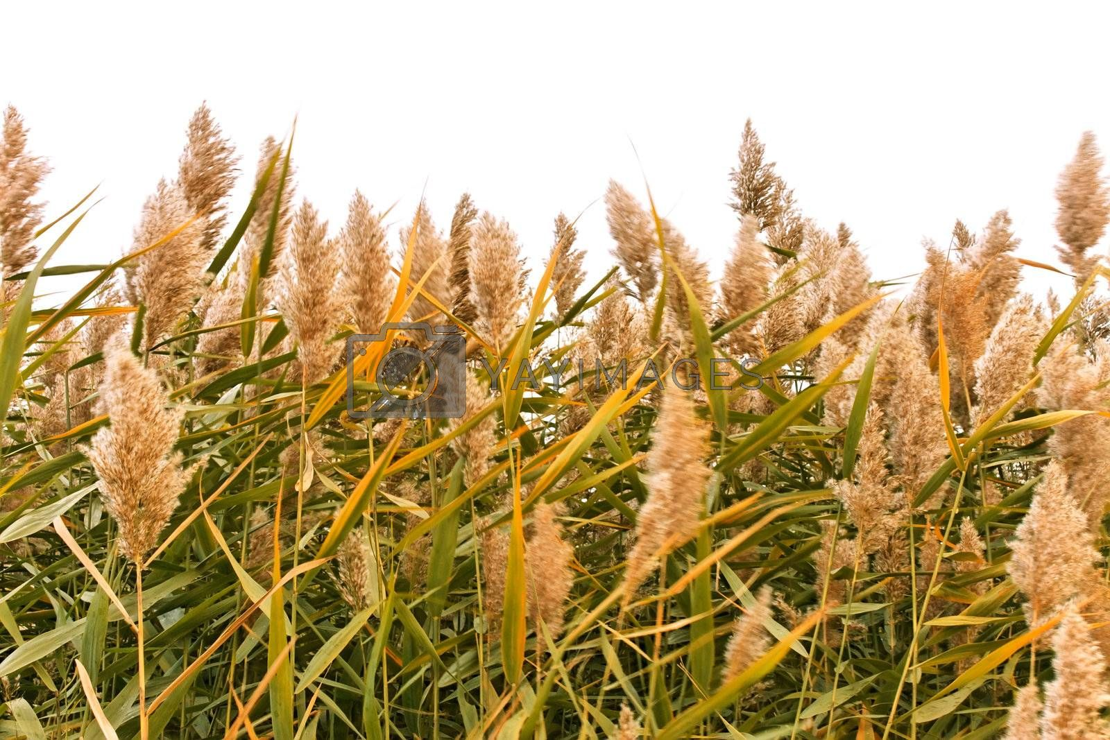 Overgrown green reed in windy autumn day isolated on white background