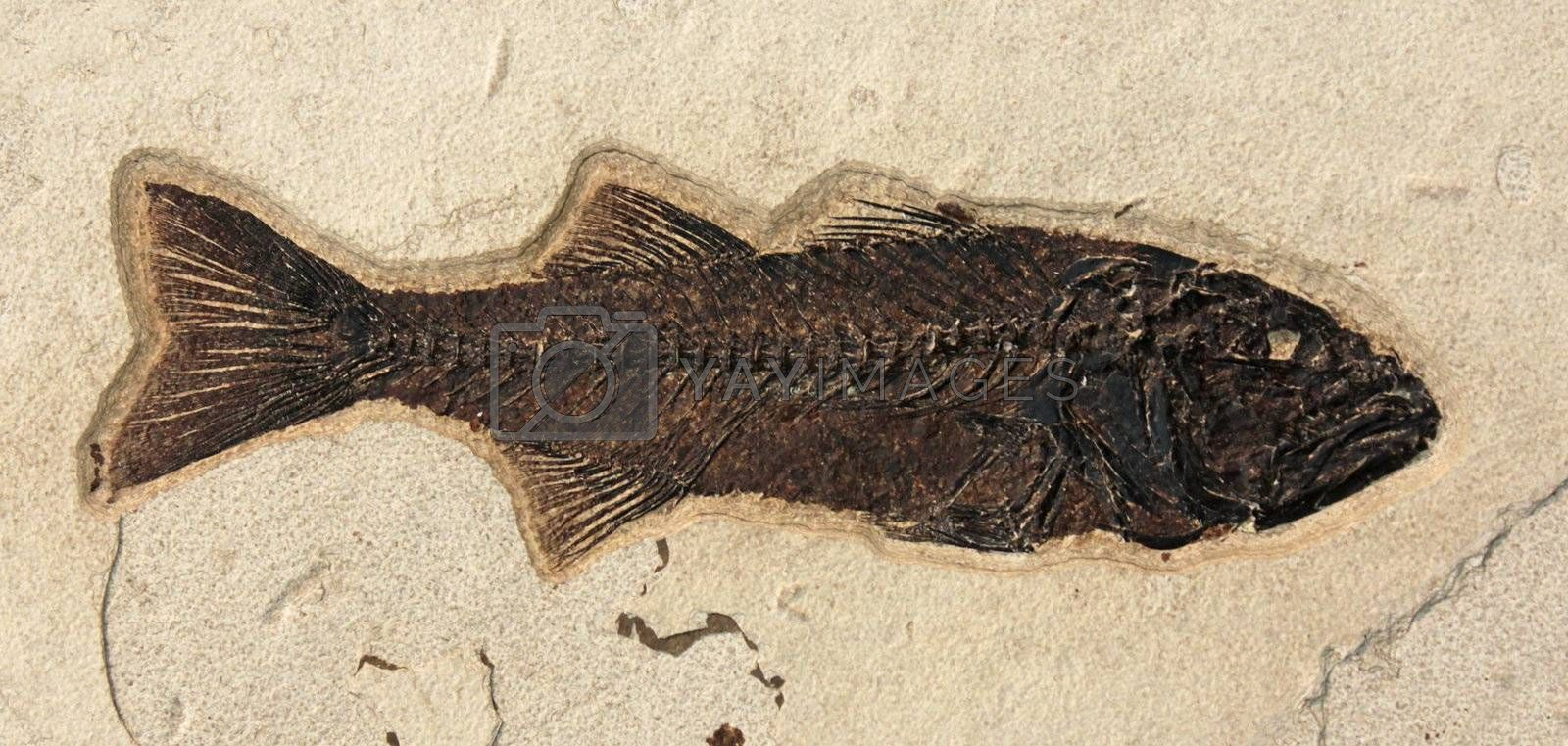 A fish fossil embedded in a rock.