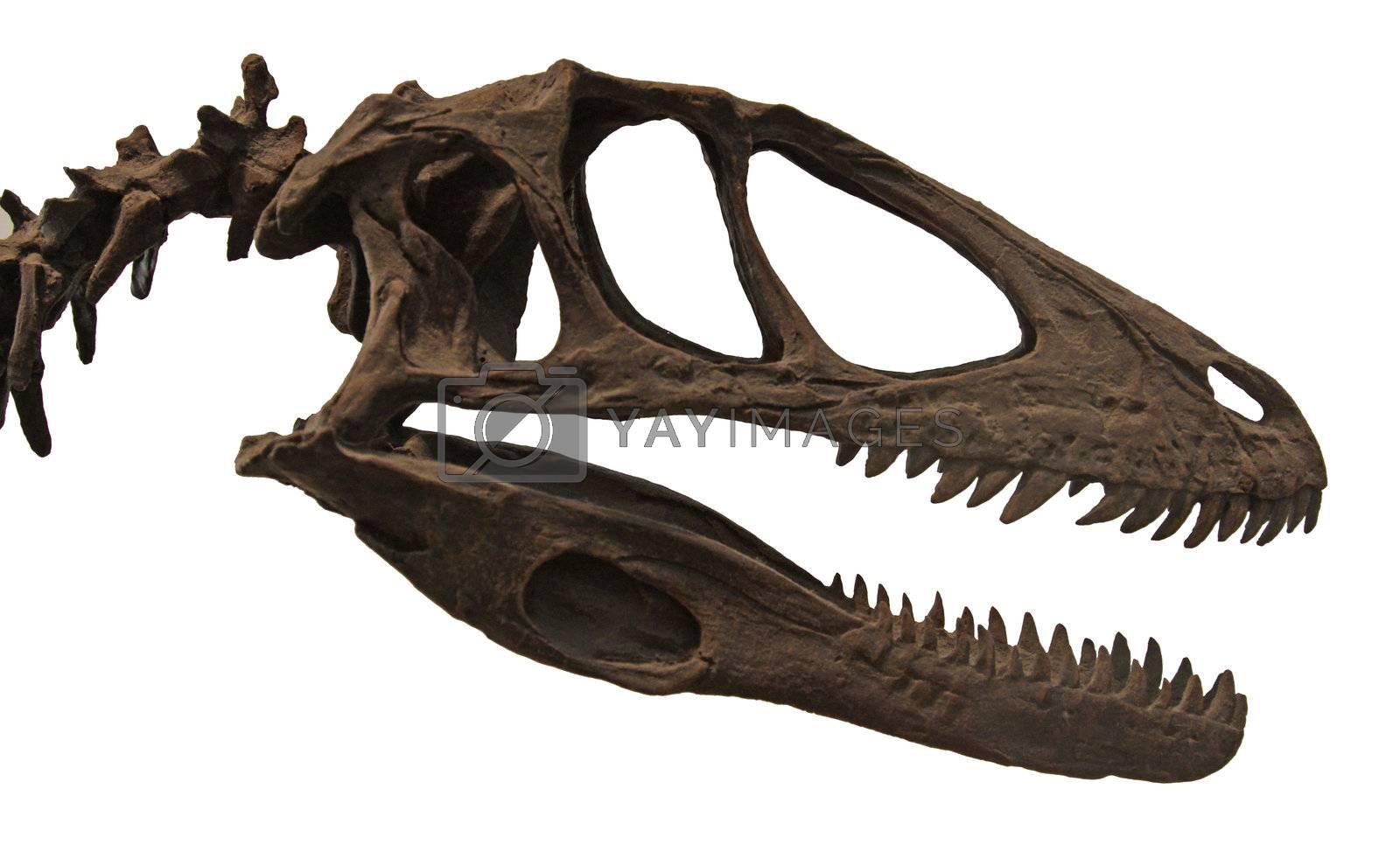 The fossilized skull of the dinosaur Deinonychus antirrhopus.