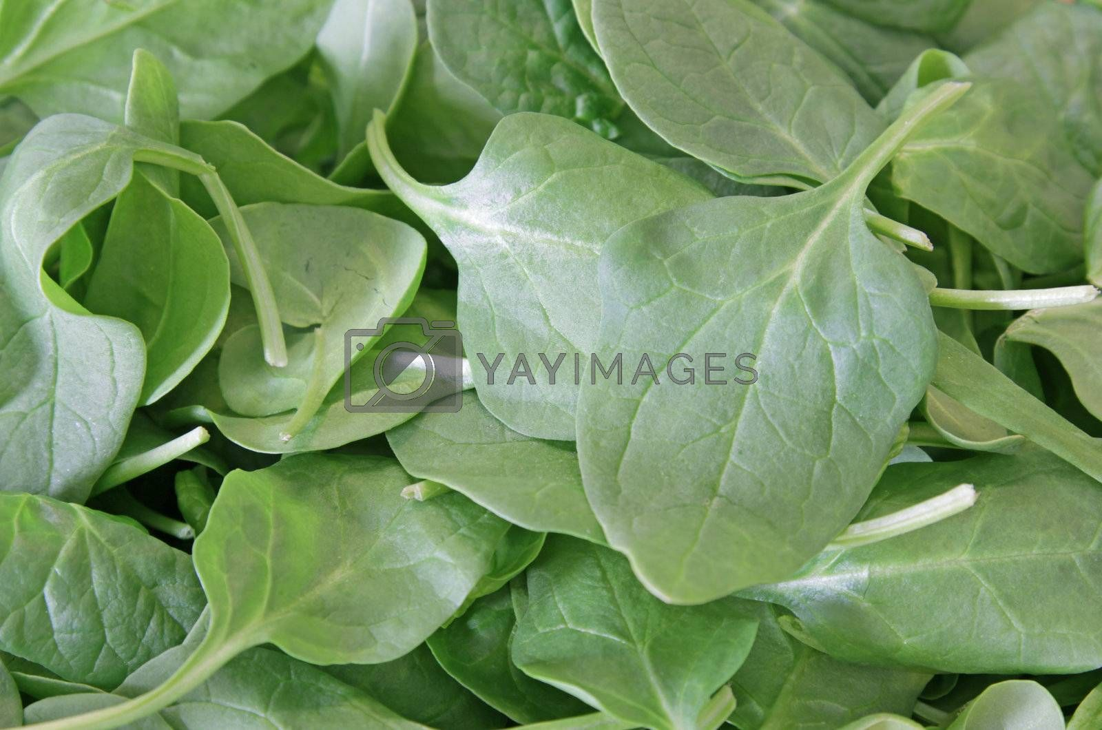 Green spinach leaves shot in soft light.