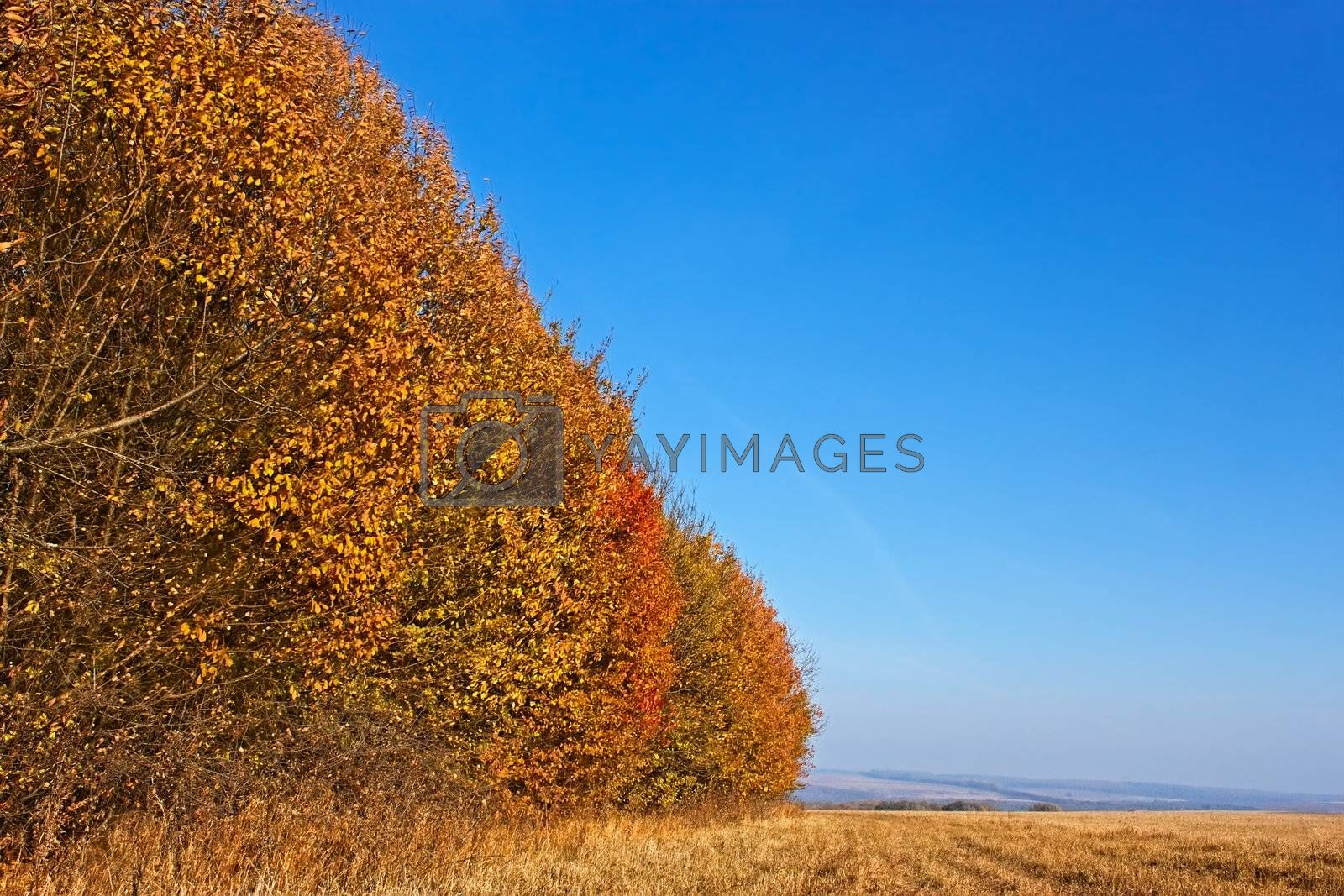 Autumn landscape. Forest edge colored in orange on the verge of the field in cloudless fine day