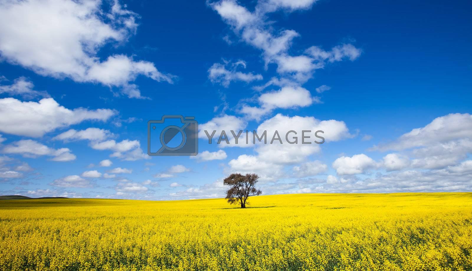 Single tree in Canola Field - Clare Valley, South Australia