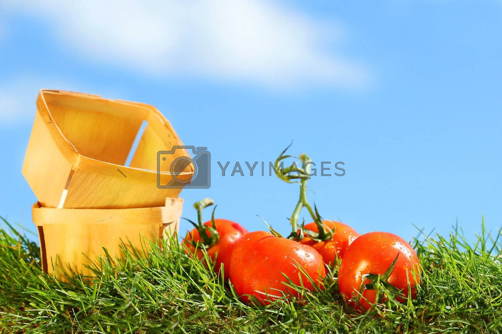 Freshly picked tomatoes on grass against a blue sky