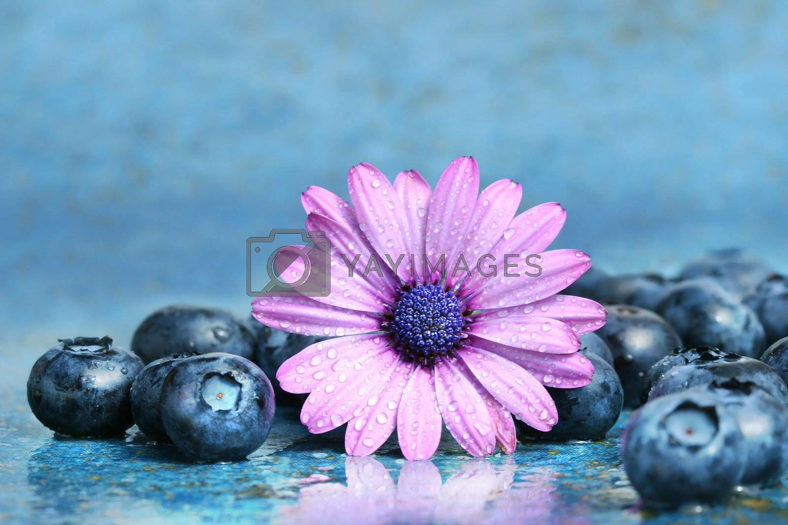 Pink daisy with blueberries on aqua blue background