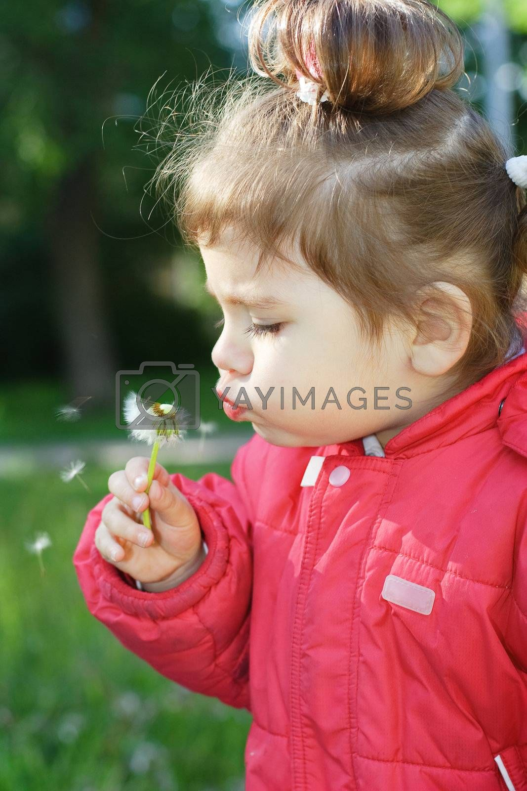little girl in a red jacket hold a dandelion in the hand and flowing on it