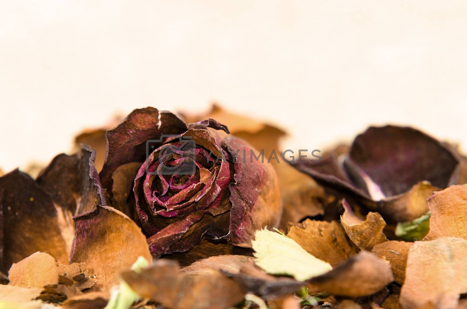 petal and faded rose on white background