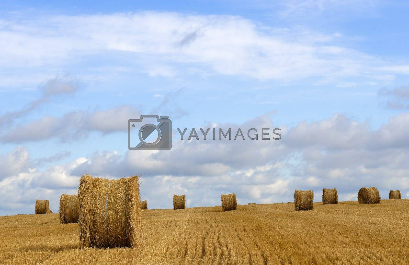 harvested field and straw balls