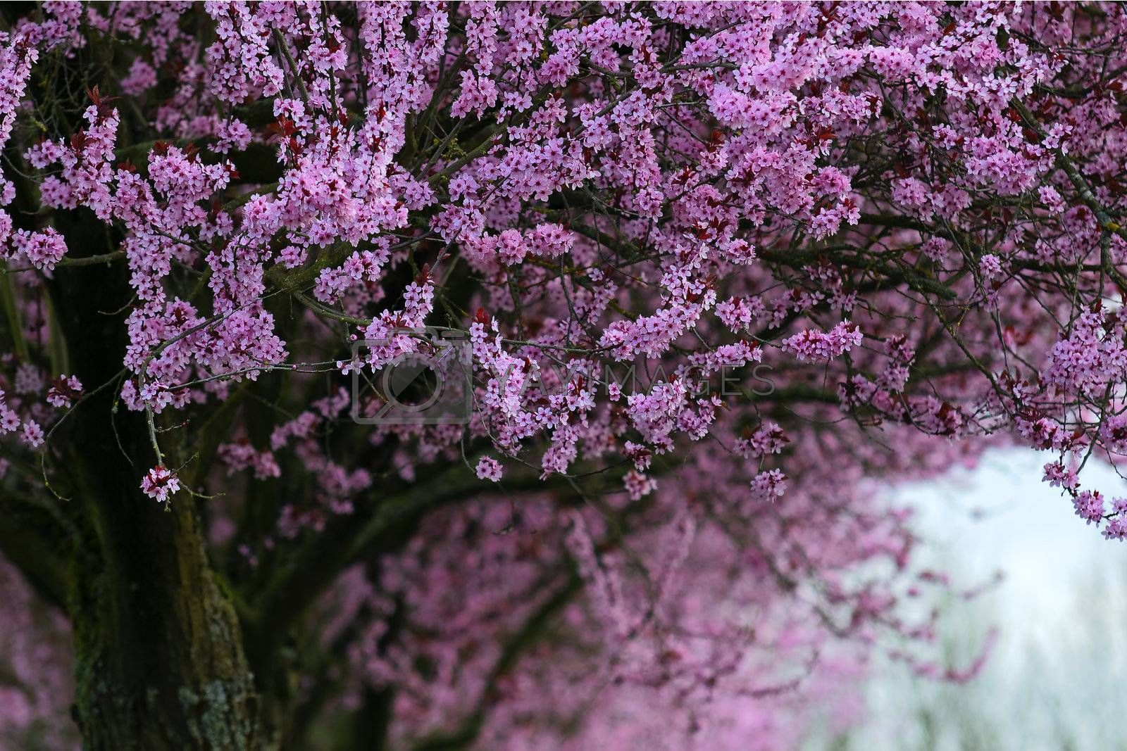 blossoming tree with pink colors