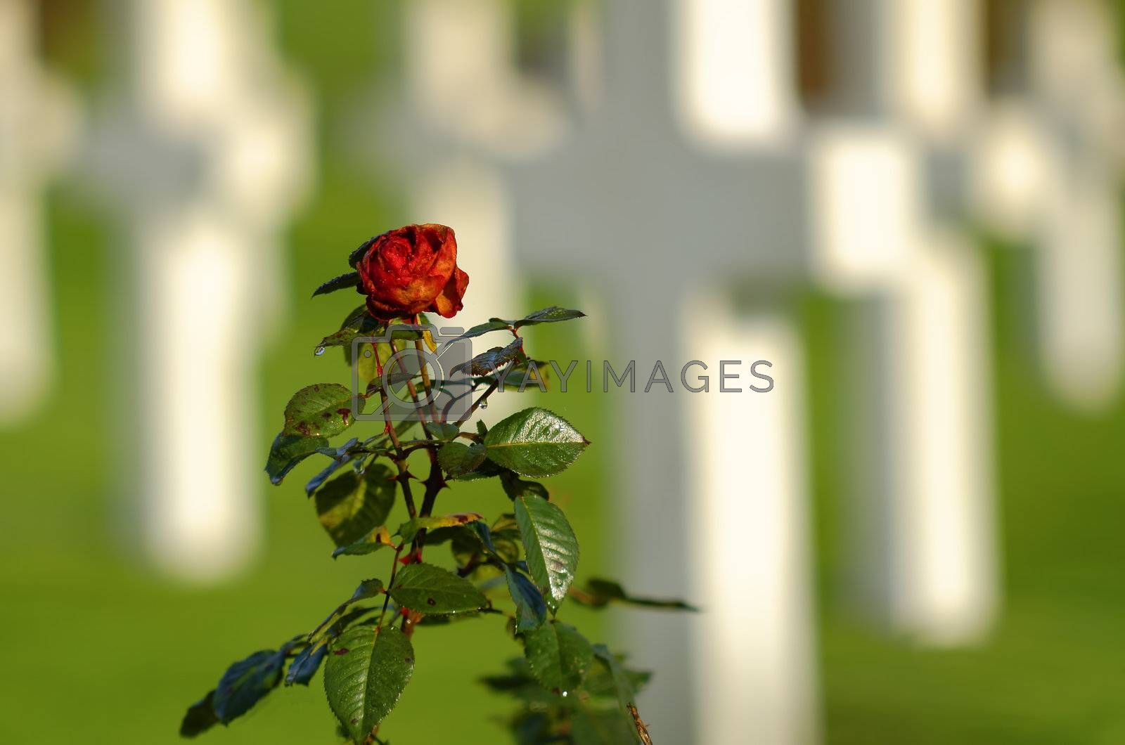 isolated rose i, a graveyard