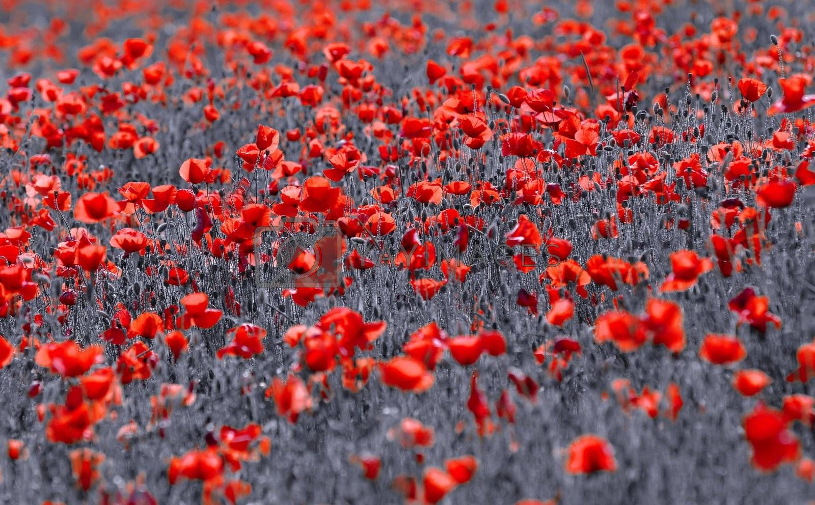 red poppies in a meadow