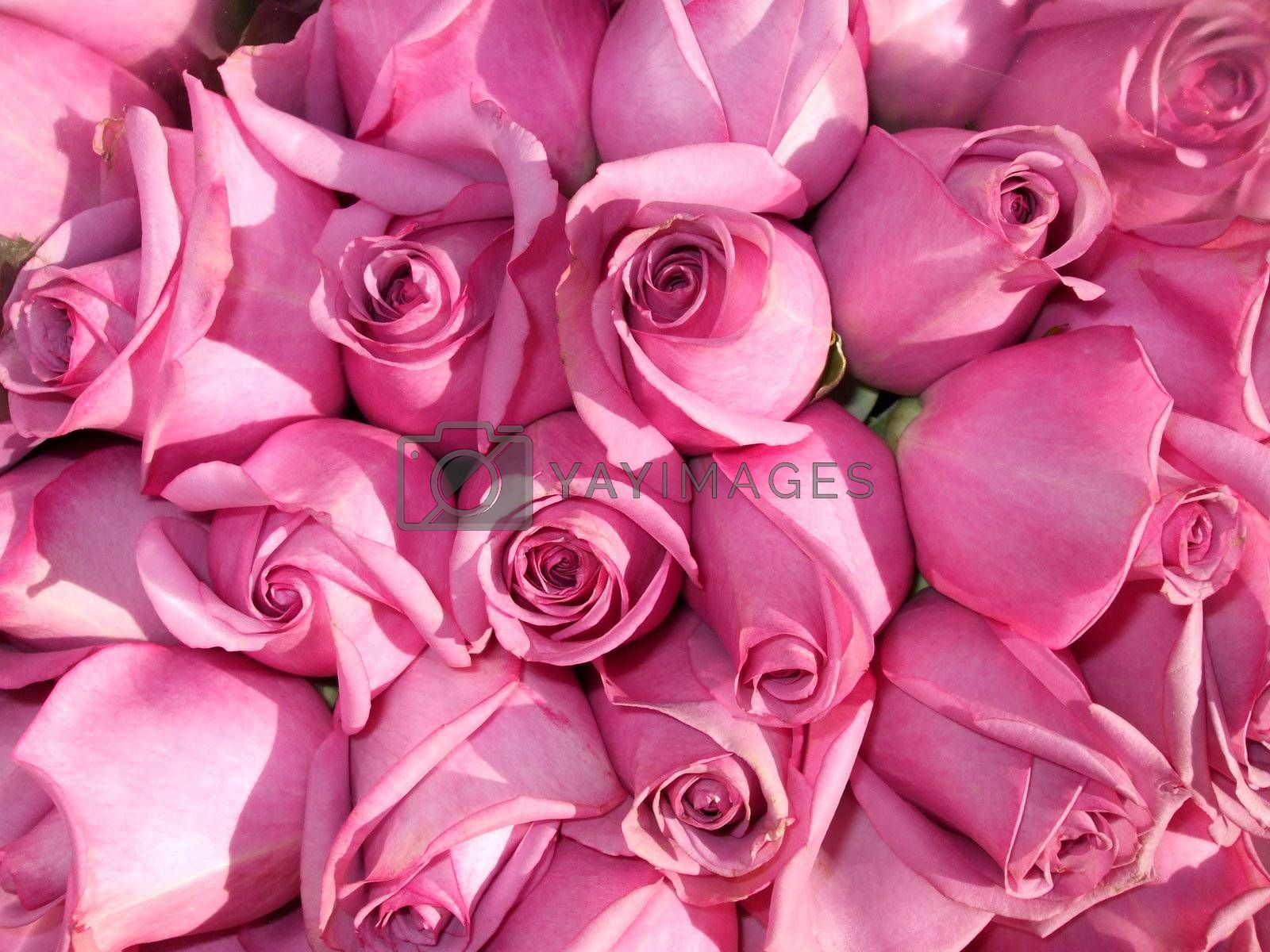 A bunch of closed pink roses