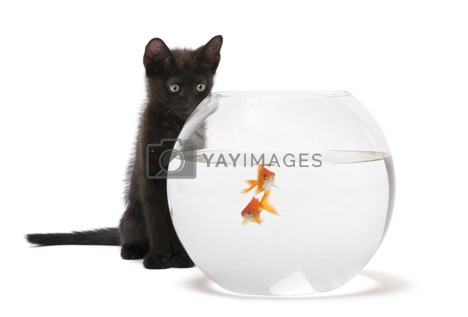 Black kitten looking at Goldfish, Carassius Auratus, swimming in fish bowl in front of white background