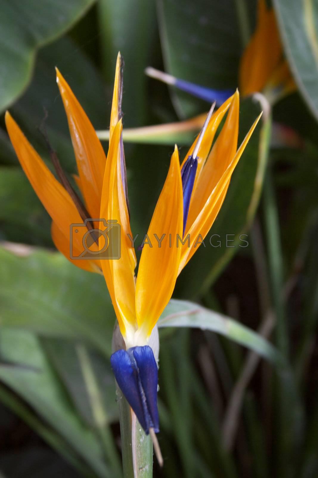 Strelitzia, Crane Flower or Bird of Paradise flower