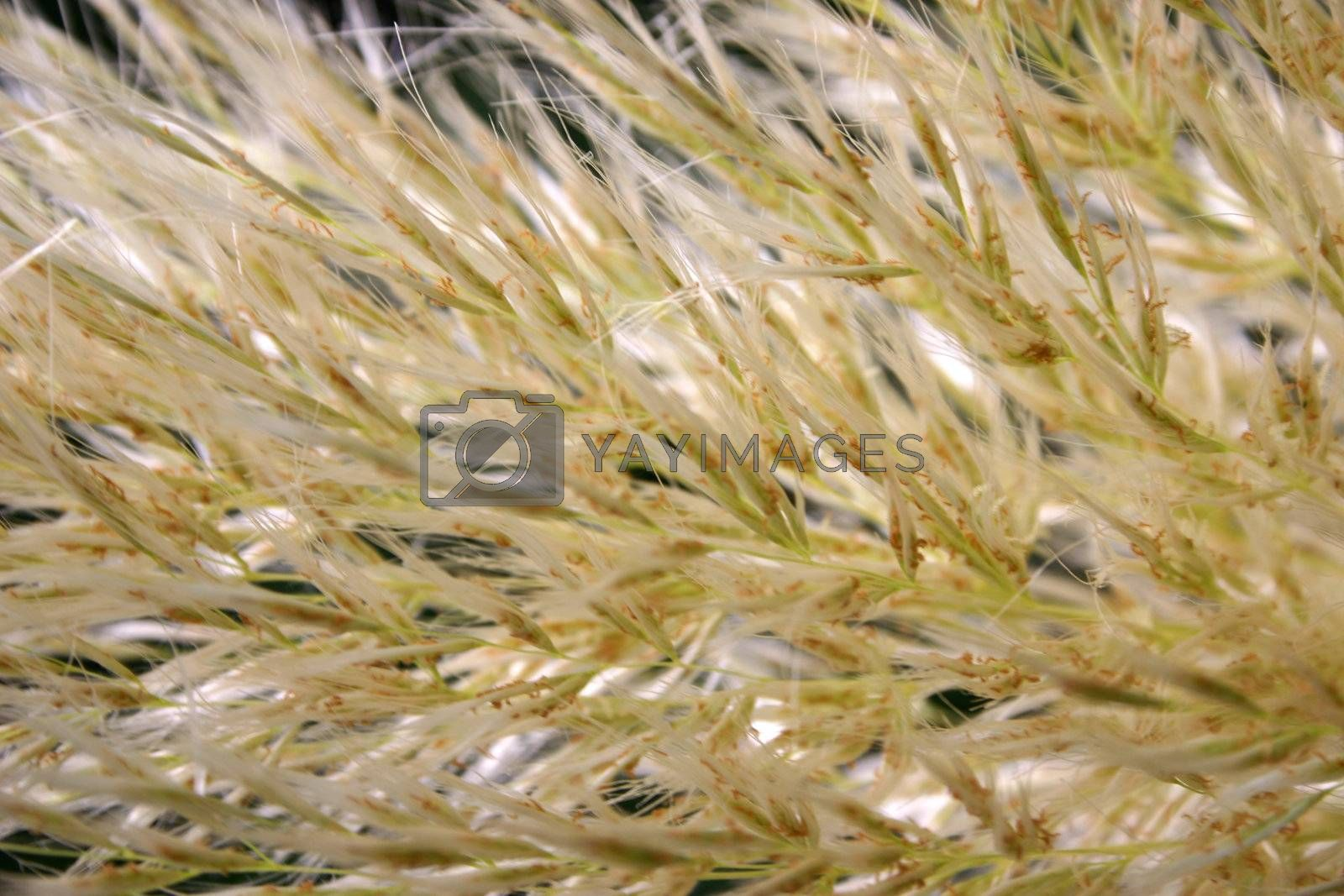 pampas grass background