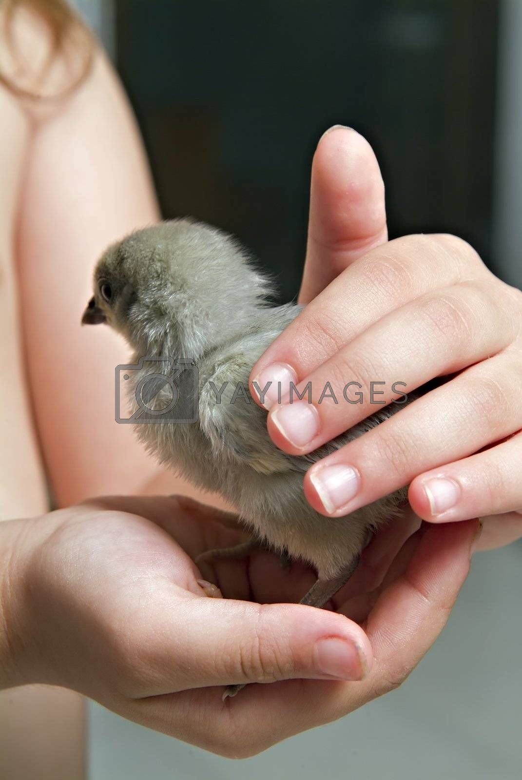 chick in child hand by noam