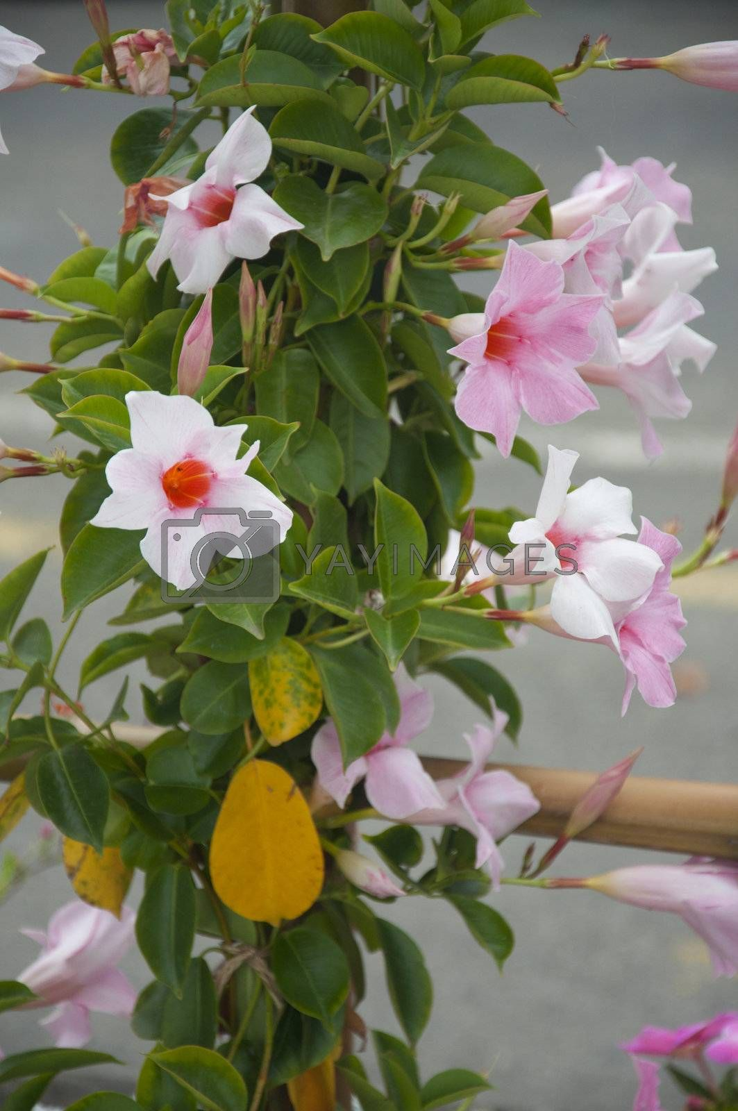 Beautiful Pink and White Ipomoea Trailing Vine in Switzerland